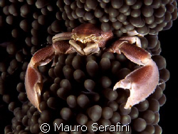 porcelain crab by Mauro Serafini 
